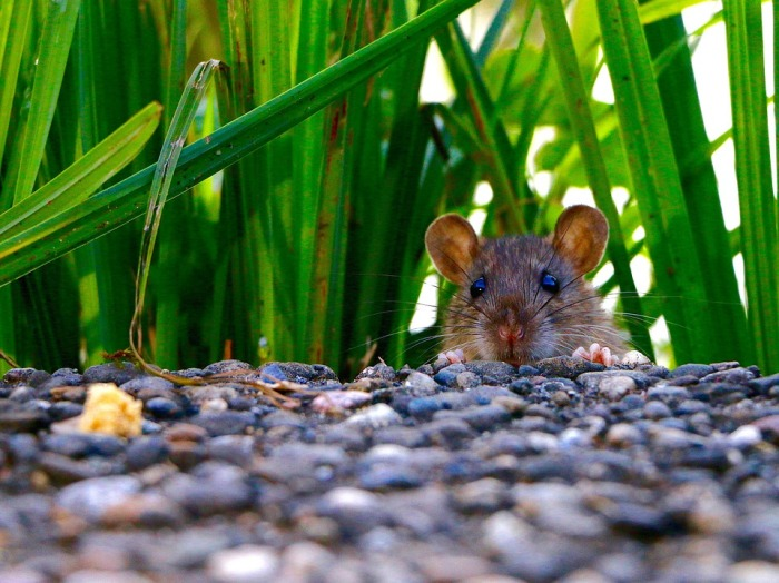 rat-in-the-grass