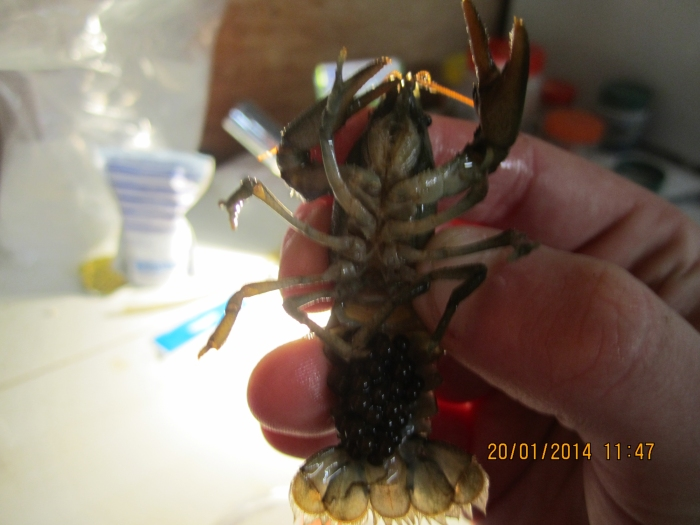 white claw crayfish 7