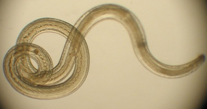 helminths-parasitic-worm