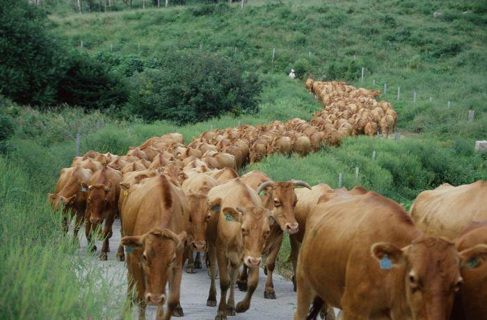 cattle_herd