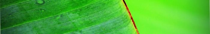 banana-leaf-thin-banner 3
